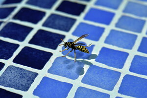 Les insectes qui rôdent autour de votre piscine : Guêpes